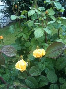 Rosen am Kalterer See