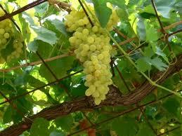 Südtiroler Weintrauben sind lecker!