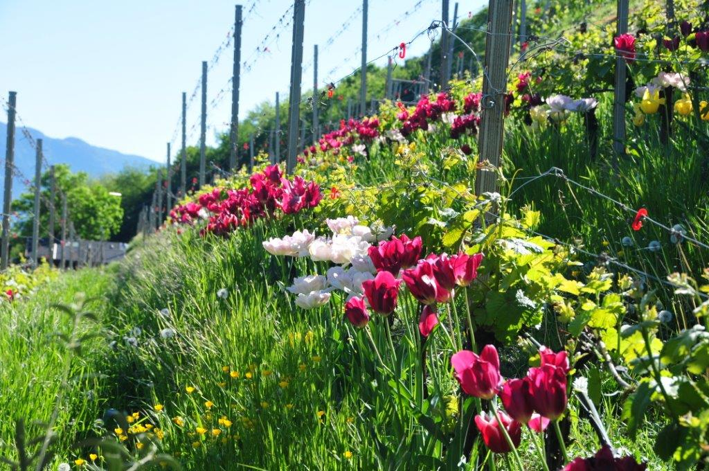 Bei einer Wanderung nach Tramin in ein märchenhaftes Tulpenfeld... Herrlich!