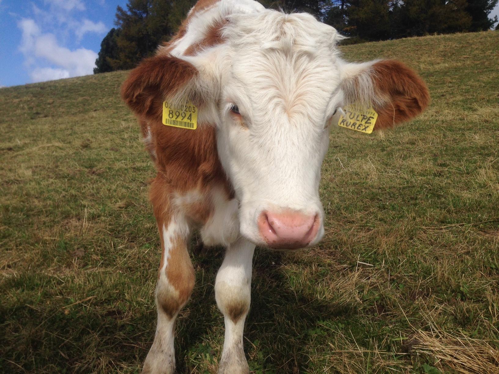"""Unten wieder angelangt wurden wir von """"Tulpe"""" und vielen Kuhglocken begrüßt."""